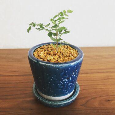 植物の「実生」に手を出しちゃった!